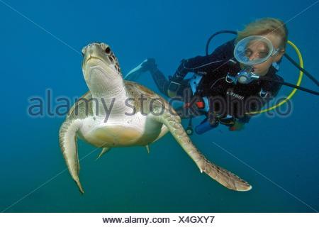 diver and hawksbill sea turtle, Canary Islands, Spain, Europe, Atlantic / (Eretmochelys imbricata) - Stock Photo
