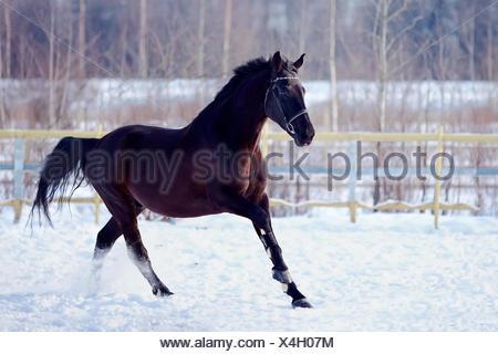 Skipping sports black stallion. - Stock Photo