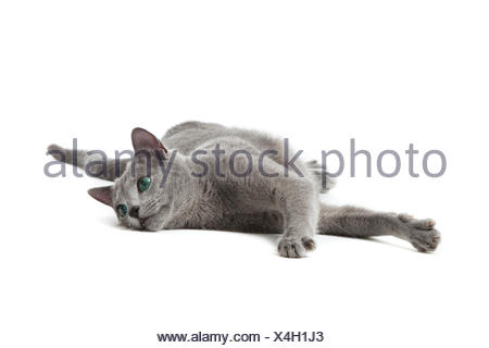 Russian Blue cat on white . - Stock Photo