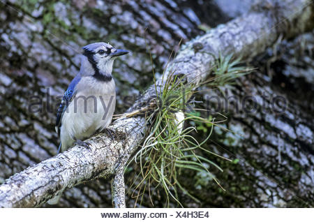Blue Jay sits on a branch at the Anhinga Trail - Stock Photo