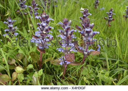 BUGLE Ajuga reptans (Lamiaceae) - Stock Photo