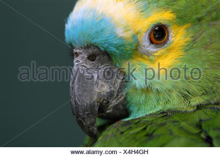 Blue-fronted Amazon - Stock Photo