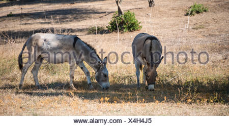 Two donkeys (Equus africanus asinus) grazing in the shade, Corsica, France - Stock Photo