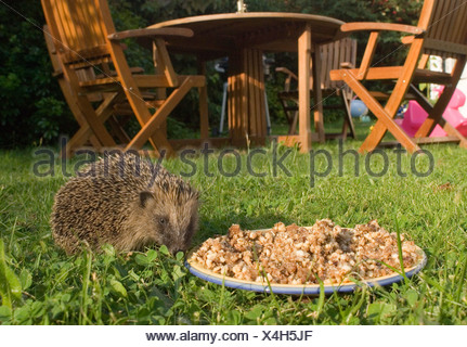 Hedgehog in garden Norfolk summer - Stock Photo