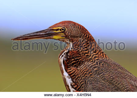 Rufescent tiger heron (Tigrisoma lineatum), young bird, portrait, juvenile, Pantanal, Mato Grosso, Brazil - Stock Photo