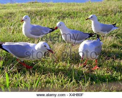 bird five birds murder outdoor standing kill mew group seagulls gulls seagull - Stock Photo