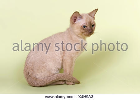 Burmese, cat breed, kitten, 13 weeks, chocolate colour - Stock Photo
