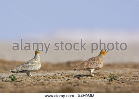 Two Crowned Sandgrouses (Pterocles coronatus), side view - Stock Photo