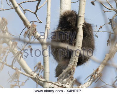 Een Noord-Amerikaans Stekelvarken zittend in een boom,A Pocupine sitting in a tree. - Stock Photo