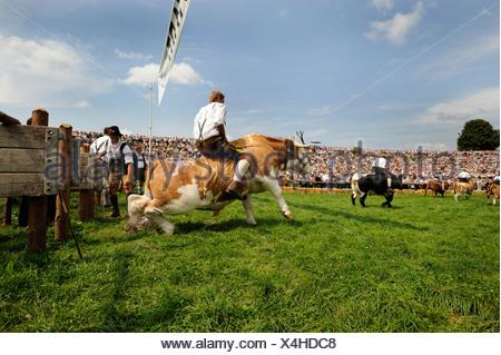 Traditional ox races in Muensing, Lake Starnberg, Bavaria, Germany, Europe - Stock Photo