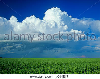 wheat field with a cumulonimbus cloud mass in the background near St. Pierre Joly, Manitoba, Canada - Stock Photo