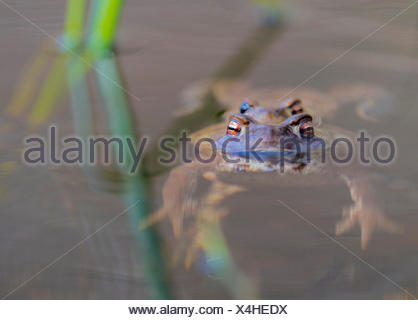 Erdkroete, Erd-Kroete (Bufo bufo), Paar an der Wasseroberflaeche, Norwegen | European common toad (Bufo bufo), couple at water s - Stock Photo