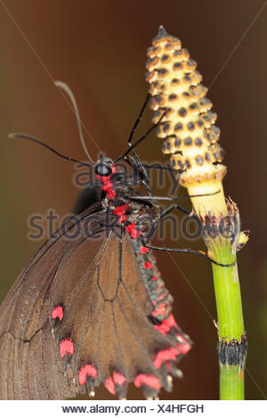 Field horsetail, Equisetum arvense, Close up of Butterfly on a flowering stem. - Stock Photo