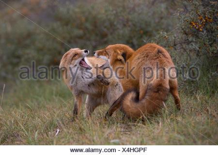 Rotfuchs (Vulpes vulpes), Duenen Nordholland, Niederlande - Stock Photo