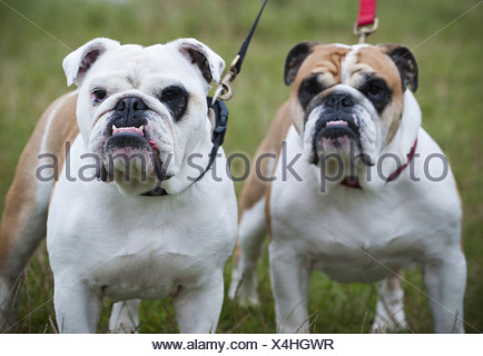Two white and fawn English Bulldogs on leads looking upwards England - Stock Photo