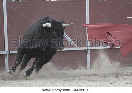 Bullfight. Fighting bull picture from Spain. Black bull - Stock Photo
