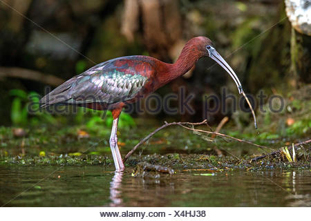 glossy ibis (Plegadis falcinellus), standing in shallow water with a worm in the bill, side view, Romania, Danube Delta - Stock Photo