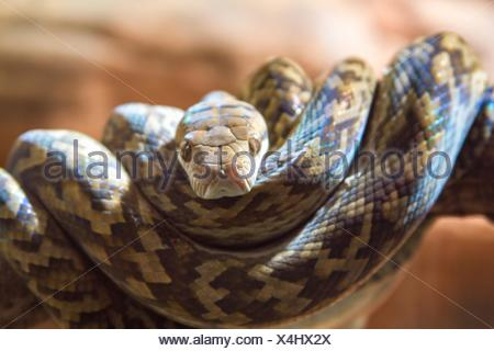 Close up portrait of brown snake coiled on tree branch, Australia - Stock Photo