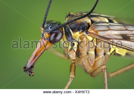 Head of a male scorpionfly (Panorpa communis), extreme close-up - Stock Photo
