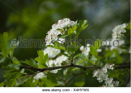 Hawthorn, Crataegus laevigata, twig with sprigs of blossom showing pink tipped stamen. - Stock Photo