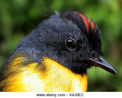 Portrait of a Slate-throated redstart, Myioborus miniatus. - Stock Photo
