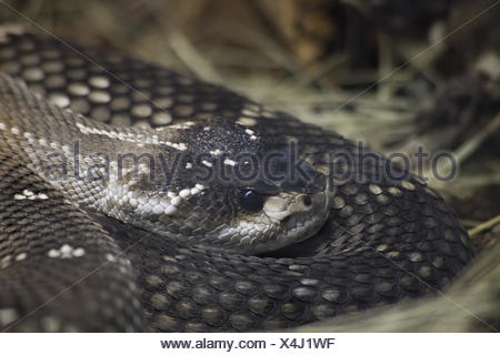 Mexican Black Tailed Rattlesnake - Stock Photo