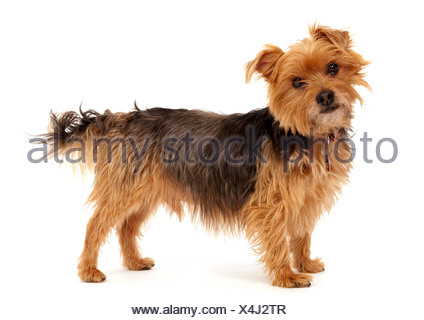 Yorkshire Terrier Dog UK - Stock Photo