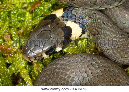 grass snake (Natrix natrix), head of an animal lying on moss, Germany - Stock Photo