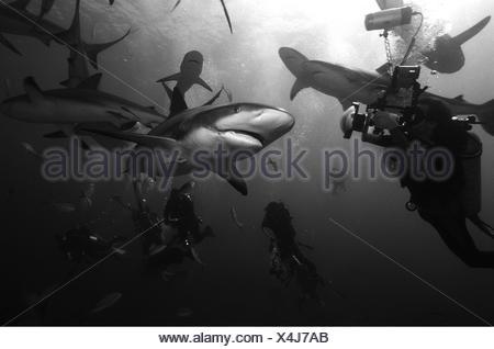 BLACK AND WHITE PORTRAIT OF REEF SHARKS CARCHARHINUS PEREZI AND UNDERWATER PHOTOGRAPHER BAHAMAS - Stock Photo
