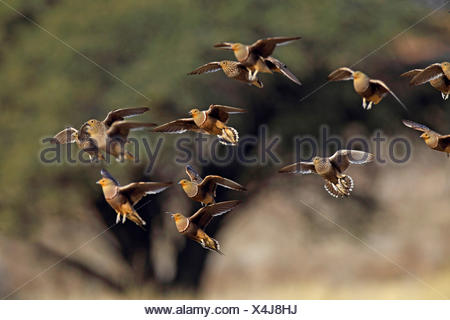 namaqua sandgrouse (Pterocles namaqua), flock touchs down at a waterhole, South Africa, Kgalagadi Transfrontier National Park - Stock Photo