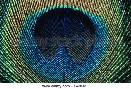common peafowl (Pavo cristatus), detail of a tail feather - Stock Photo