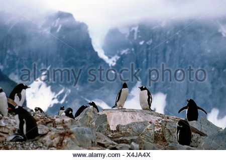 Group of Gentoo penguins sitting on rocks Antarctica Summer - Stock Photo