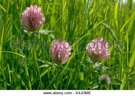 Red clover Trifolium pratense flowers backlit in grassland - Stock Photo
