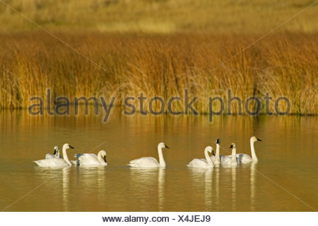 A group of Trumpeter swans (Cygnus buccinator) enjoy a fantastic fall day in a pond south of Kamloops, British Columbia, Canada - Stock Photo