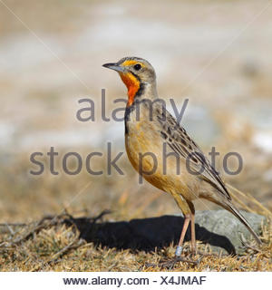 Cape longclaw (Macronyx capensis), standing on the ground, South Africa, Barberspan Bird Sanctury - Stock Photo