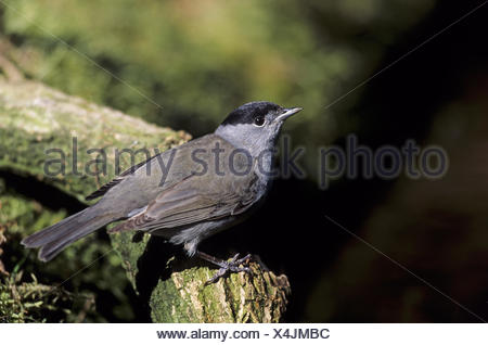 Blackcap adult male with typical black cap - Stock Photo