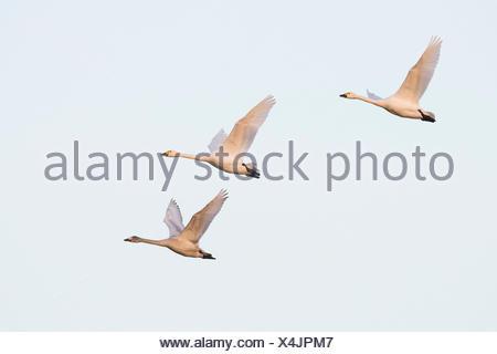 Bewick's swans (Cygnus bewickii), in flight, Emsland, Lower Saxony, Germany - Stock Photo