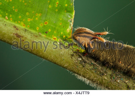 Caterpillar perched on a heliconia leaf in Costa Rica. - Stock Photo