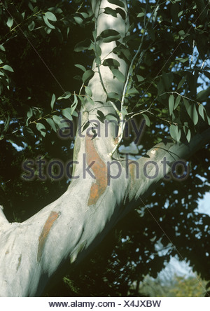 Snow Gum Eucalyptus pauciflora ssp. niphophila - Stock Photo