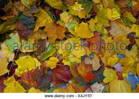 Colourful autumn leaves, maple leaves (Acer) - Stock Photo