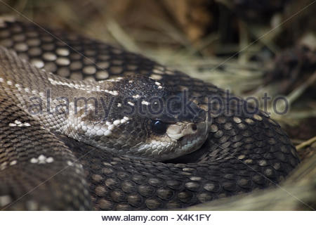 reptile, camouflage, viper, rattlesnake, lurking, wait, waiting, animal, - Stock Photo
