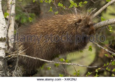 A Porcupine (Erethizon dorsatum) lying in a tree - Stock Photo