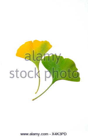 Ginkgo / (Ginkgo biloba) - Stock Photo