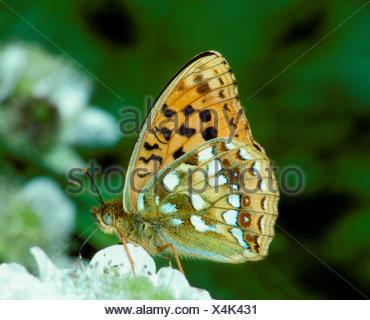 High Brown Fritiallary - Fabriciana adippe - Stock Photo