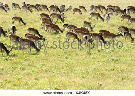 fallow deer, fallow buck - Stock Photo