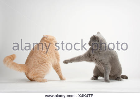 British Shorthair Cats, pair, blue and cream, one lashing out at the other - Stock Photo