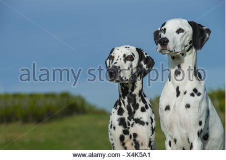 2 Dalmatian - Stock Photo