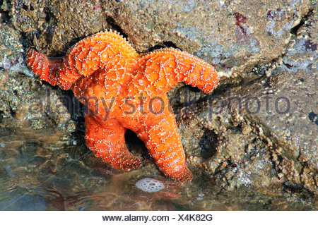 Sea star (Echinodermata spec.) in a pool left by the tide, Olympic National Park, Washington, USA, North America - Stock Photo