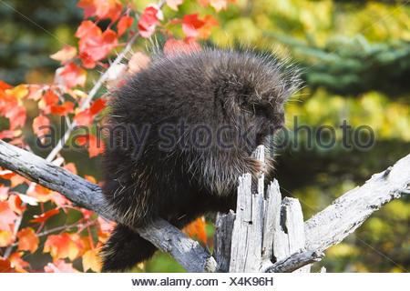 North American porcupine on tree stump, autumn foliage, USA, Minnesota, - Stock Photo