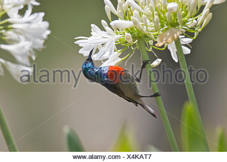 Male Greater Double-collared Sunbird Cinnyris afer feeding on Agapanthus flower in Outeniqua Mountains Western Cape Province - Stock Photo